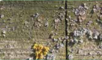 Madeiras Envelhecidas ou Acinzentadas e com Fungos